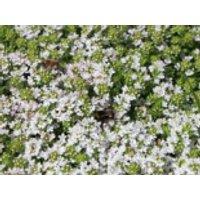 Frühblühender Thymian 'Albiflorus', Thymus praecox 'Albiflorus', Containerware