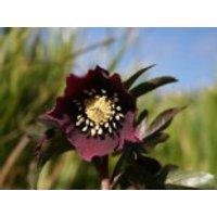 Frühlings Nieswurz, rot, Helleborus x orientalis, rot, Topfware