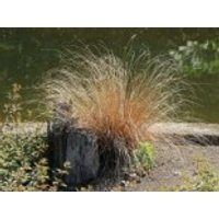 Fuchsrote Neuseeland-Segge, Carex buchananii, Containerware