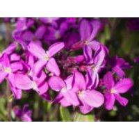 Gänsekresse 'Frühlingszauber', Arabis blepharophylla 'Frühlingszauber', Topfware