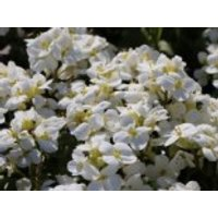 Gänsekresse 'Little Treasure White', Arabis caucasica 'Little Treasure White', Topfware