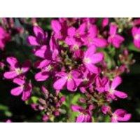 Gänsekresse 'Rote Sensation', Arabis blepharophylla 'Rote Sensation', Topfware