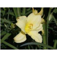 Garten Taglilie 'Green Flutter', Hemerocallis x cultorum 'Green Flutter', Topfware