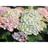 Blütensträucher und Ziergehölze - Ballhortensie 'Magical Revolution', 20-30 cm, Hydrangea macrophylla 'Magical Revolution', Containerware