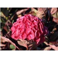 Blütensträucher und Ziergehölze - Ballhortensie 'Merveille Sanguinea', 30-40 cm, Hydrangea macrophylla 'Merveille Sanguinea', Containerware