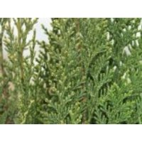 Gartenzypresse 'White Spot', 30-40 cm, Chamaecyparis lawsoniana 'White Spot', Containerware