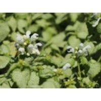 Gefleckte Taubnessel 'White Nancy', Lamium maculatum 'White Nancy', Topfware