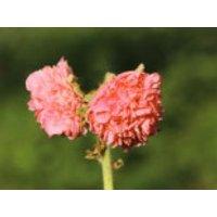 Gefülltblühende Stockrose 'Pleniflora Salmon Pink', Alcea rosea 'Pleniflora Salmon Pink', Topfware