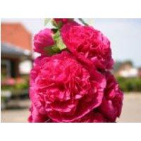 Gefülltblühende Stockrose 'Pleniflora Rot', Alcea rosea 'Pleniflora Rot', Topfware