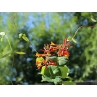 Geißblatt 'Dropmore Scarlet' / Rote Geißschlinge, 60-100 cm, Lonicera brownii 'Dropmore Scarlet', Containerware