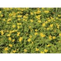 Gelbblühendes Windröschen, Anemone ranunculoides, Topfware