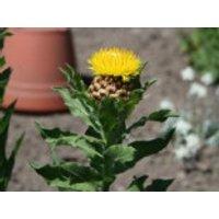 Gelbe Riesen-Flockenblume, Centaurea macrocephala, Topfware