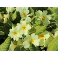 Gelbe Stängellose Schlüsselblume, Primula vulgaris, Topfware