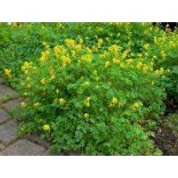 Gelber Lerchensporn, Corydalis lutea, Topfware