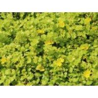 Gelblaubiges Pfennigkraut 'Aurea', Lysimachia nummularia 'Aurea', Topfware