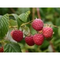 Gemeine Himbeere / Wildhimbeere, 60-100 cm, Rubus idaeus, Containerware