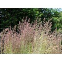 Gestreiftblättriges Reitgras 'Overdam', Calamagrostis x acutiflora 'Overdam', Containerware