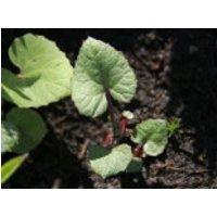 Gewöhnliche Pestwurz, Petasites hybridus, Topfware