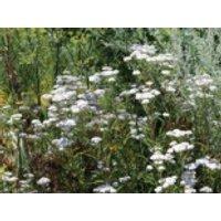 Gewöhnliche Schafgarbe, Achillea millefolium, Topfware