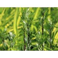Gewöhnlicher Beifuß, Artemisia vulgaris, Topfware