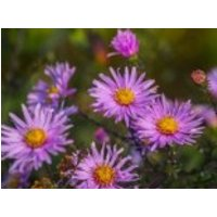 Glatte Aster 'Glow in the Dark', Aster laevis 'Glow in the Dark', Topfware