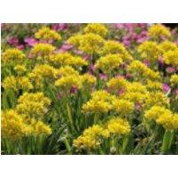 Gold-Lauch, Allium moly, Containerware