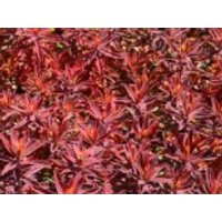 Gold-Wolfsmilch 'Bonfire', Euphorbia polychroma 'Bonfire', Topfware