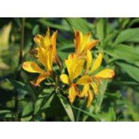 Goldene Inkalilie, Alstroemeria aurea, Topfware