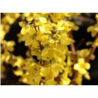 Goldglöckchen / Forsythia 'Minigold', 40-60 cm, Forsythia intermedia 'Minigold', Containerware