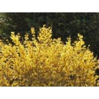 Goldglöckchen / Forsythie 'Mikador'  ®, 40-60 cm, Forsythia intermedia 'Mikador'  ®, Containerware
