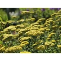 Goldquirl-Garbe 'Little Moonshine', Achillea clypeolata 'Little Moonshine', Topfware