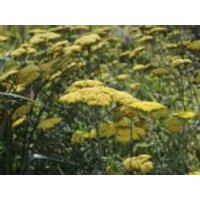 Goldquirl-Garbe 'Moonshine', Achillea clypeolata 'Moonshine', Containerware
