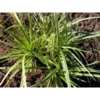Goldrand Segge 'Aureovariegata', Carex morrowii 'Aureovariegata', Topfware
