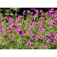 Grauer Storchschnabel 'Purpureum', Geranium cinereum subsp. subcaulescens 'Purpureum', Topfware