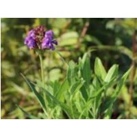 Großblütige Braunelle, Prunella grandiflora, Topfware