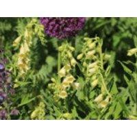 Großblütiger Fingerhut, Digitalis grandiflora, Topfware