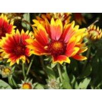 Großblumige Kokardenblume 'Bremen', Gaillardia x grandiflora 'Bremen', Topfware