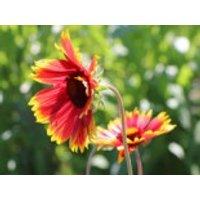Großblumige Kokardenblume 'Fackelschein', Gaillardia x grandiflora 'Fackelschein', Topfware