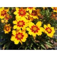 Großblumiges Mädchenauge 'Sonnenkind', Coreopsis grandiflora 'Sonnenkind', Containerware