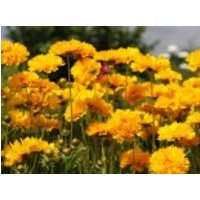 Großblumiges Mädchenauge 'Sunray' ®, Coreopsis grandiflora 'Sunray' ®, Topfware