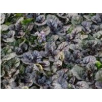 Kriechender Günsel 'Black Scallop' ®, Ajuga reptans 'Black Scallop' ®, Containerware