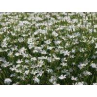 Heide-Nelke 'Albus', Dianthus deltoides 'Albus', Topfware