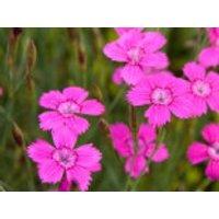 Heide-Nelke 'Roseus', Dianthus deltoides 'Roseus', Topfware