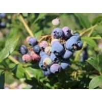 Heidelbeere 'Bluecrop', 15-20 cm, Vaccinium corymbosum 'Bluecrop', Topfware