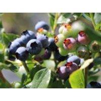 Heidelbeere 'Blueray', 30-40 cm, Vaccinium corymbosum 'Blueray', Containerware