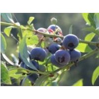 Heidelbeere 'Patriot', 40-60 cm, Vaccinium corymbosum 'Patriot', Containerware