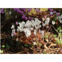 Herbst Alpenveilchen 'Album', Cyclamen hederifolium 'Album', Topfware