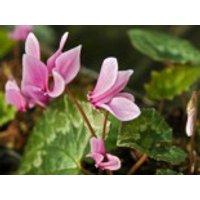 Herbst Alpenveilchen 'Amaze Me Pink', Cyclamen hederifolium 'Amaze Me Pink', Topfware