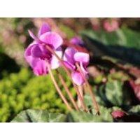 Herbst-Alpenveilchen 'Ivy Ice Light Rose', Cyclamen hederifolium 'Ivy Ice Light Rose', Topfware