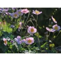 Herbst-Anemone 'Pink Saucer', Anemone japonica 'Pink Saucer', Containerware